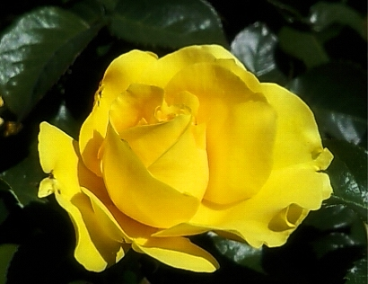 Yellow Rose Bud from Portland International Rose Garden - closeup photo by Lorelle VanFossen.